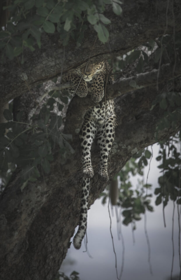 Leopard vilar i träd | Fotoresa till Zambia