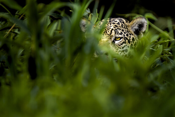 Fotoresa till Pantanal | Jaguarer