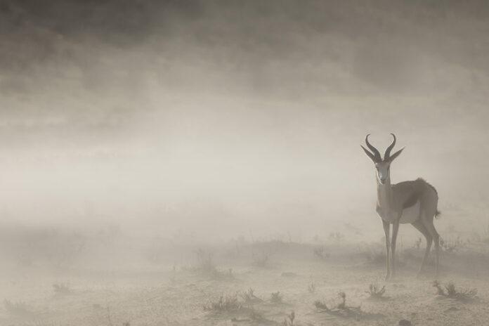 Springbock på fotoresa i Kalahari