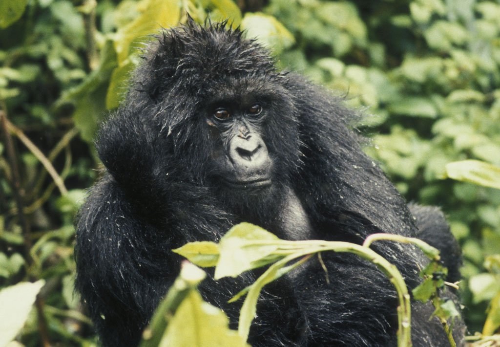 Bergsgorilla I Rwanda